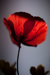 In a beam of light (Sober Rabbit) Tags: red shadow flower fragility nature freshness petal stem