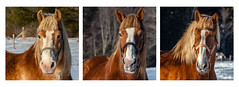 Harpswell Horses (Me in ME) Tags: maine harpswell horses winter snow triptych explore