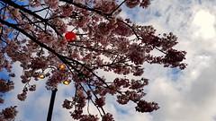Cherry blossom and strret lights (blondinrikard) Tags: järntorget cherryflowers cherryblossom streetlight göteborg up lookinup ricepaperlanterns rislampor japaneselanterns