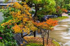 IMG_1651 (Evgeny Gorodetskiy) Tags: himeji maple foliage asia momiji leaves outdoor autumn rain japan park himejishi hyōgoken япония jp