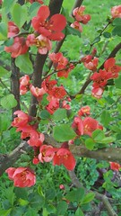 (Iggy Y) Tags: japonica chaenomeles japanese quince spring flower blossom red flowers japanskadunja japanska dunja nature plant day light