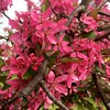 Flowering Plum (linda_lou2) Tags: 100flowers squarecrop floweringplum blossoms flower pink