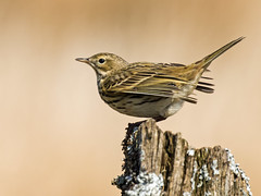 "Meadow Pipit (coopsphotomad) Tags: bird ""meadow pipit"" animal nature wildlife moor heather heath post bokeh canon perch wales wild british"