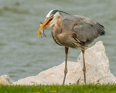 Big Catch... (ragtops2000) Tags: greatblueheron gbh migrating spring fish catch pose longshot lucky solitary stately wadingbird sovereign windy exciting first eye iowa lakemanawa tamron150600g2 nikond500