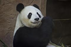 Bai Yun- San Diego Zoo (Rita Petita) Tags: baiyun sandiegozoo sandiego california china panda giantpanda specanimal explore