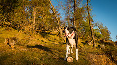 Zac and his ball in the evening sun on Birnam Hill (grahamrobb888) Tags: nikon nikond800 sigma20mmf18 sigma highlands hillwalk hills birnamhill eveninglight eveningsun zac dog pet perthshire scotland spring forest trees bluesky
