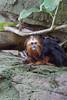 DSC00927 (Cyn Reynolds) Tags: goldenheadedliontamarin tamarin sandiegozoo a77ii 2017 monkey escargot