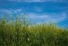 유채 Rapeseed (Daegeon Shin) Tags: 365 nikon d750 tamron 45mmf18 tamron45mmf18vc colza sky cielo nube cloud namhae corea korea nature flor flower 니콘 탐론 유채꽃 하늘 구름 남해 경남 자연 꽃 blue 파랑