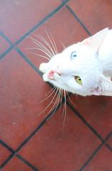 +/- (¡¡Bang!!) Tags: gato cat white blanco ojos eyes heterocromatico heterocromic belleza animal beauty strange extraño raro weird blue azul green verde naturaleza nature
