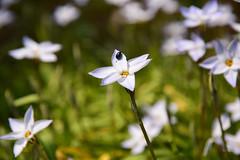20170319_203_2 (まさちゃん) Tags: 虫 白い花