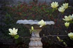 yellow colored magnolia tree blossoms (Pejasar) Tags: yellow magnoliatree blooms flowers tree spring tulsa oklahoma minshallparkarea floweringtree beautiful birdbath