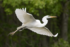 Great Egret 4-30-2017-5 (Scott Alan McClurg) Tags: aalba ardea ardeidae flickr animal back backyard bird bluesky flap flapping flight fly flying greategret land landing life nature naturephotography neighborhood portrait spring suburban urban white wild wildlife