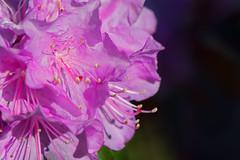 20170423_KCS_1701-Edit (kaylaclare) Tags: flowers macro pink