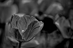 Dark Times (brev99) Tags: perfecteffects17 ononesoftware on1photoraw2017 blackandwhite photoshopelements12 silverefex luminar flowers tamron70300vc d610 woodwardpark tulsa dxofilmpack5 tulips springblossom bokeh blurredbackground