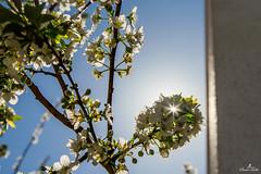 Feel the spring (sanaturki) Tags: plumblossoms fleursdeprunier soleil printemps spring sun d5300