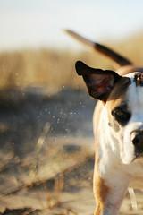 12/52 floppy ear and fairy dust (Jutta Bauer) Tags: 52weeksfordogs 52weeksforedgar 1252 dog run spring morninglight bokeh beach