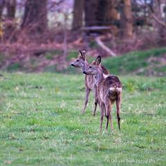 Ree, Roe deer (Ger van Beek) Tags: kampina natuurgebieden ree zoogdieren