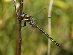 Twin-spotted spiketail (Cordulegaster maculata) Male (Rezamink) Tags: cordulegastermaculata twinspottedspiketail odonata usa dragonflies twinspottedgoldenring