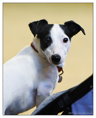 Shamey (GAPHIKER) Tags: dog terrier childernsclassichorseshow jackrussell jack russell shamey