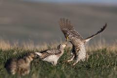 Sharptail Grouse-36-2 (buskirktim) Tags: sharptail grouse nebraska wildlife birds