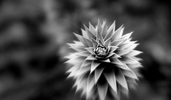Meteoric star (John (thank you >1 million views)) Tags: 7dwf monochrome macrophotography flower bristolbotanicgardens bw blancoynegro stokebishop bristol vegetation thepermianperiod forestation