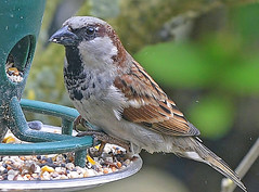 House sparrow! (georgepulford) Tags: infocus highquality