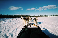 Dog sledding // out in the wild // Snow Domestic Animals Sky Cold Temperature Winter Animal Themes Mammal Day Tree Outdoors Nature Working Animal Pets Landscape Sled Dog Dog Cloud - Sky One Person Adventure Beauty In Nature (spieri_sf) Tags: snow domesticanimals sky coldtemperature winter animalthemes mammal day tree outdoors nature workinganimal pets landscape sleddog dog cloudsky oneperson adventure beautyinnature