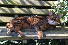Grumpy Cat [99/365 2017] (steven.kemp) Tags: dino bengal cat puss feline