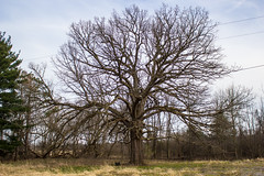 This Old Tree (marylea) Tags: apr9 tree 2017 northterritorialrd earlyspring faceintree noleaves oak bigtree