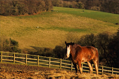 Wiggins IV (meniscuslens) Tags: drum horse military retired field paddock fence sunlight trees trust charity buckinghamshire bright springtime