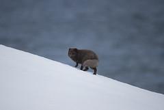 Iceland (richard.mcmanus.) Tags: iceland arctic arcticfox westfjords hornstrandir mcmanus animal mammal gettyimages