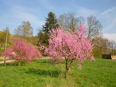 Blühende Pfirsichbäume (Jörg Paul Kaspari) Tags: wiltingen prunus persica prunuspersica pfirsich blüte flower rosa baum tree pfirsichbaum