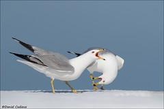 Ring-billed Gull Behaviour (Daniel Cadieux) Tags: gull ringbilledgull behaviour behavior call calling courting breedingplumage ottawa snow pair two couple