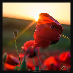 Ray of Life (Ilan Shacham) Tags: flowers flower poppy red sunset rays sunstar bud landscape view scenic beauty nature fineart fineartphotography hulda mishmardavid israel field