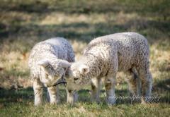 Two lambs (mgstanton) Tags: drumlinfarm animal drumlin farm lamb cute babyanimal
