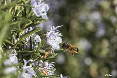 Butineuses (giloudim) Tags: abeilles insecte romarin macro canon7dmarkii nature fleurs flou exterieur