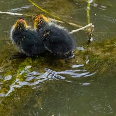 Recently hatched coots, River Avon, Stratford (Dave_A_2007) Tags: fulicaatra bird coot nature wildlife stratforduponavon warwickshire england