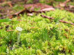 Hello cousin Cladonia (chaerea) Tags: bc bryophyte canada cladonia forest fungi lichen moss mycology nature woodland