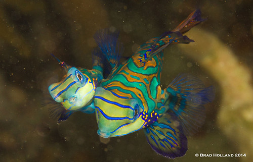 Mandarin Fish © Brad Holland 2014