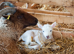 Lamb (tad2106 - Trudie Davidson Photography) Tags: lambs newborn baby animal babyanimal young lamb sheep rarebreed farm livestock spring easter symbol farmyard