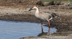 Swan Goose 160417 (2) (Richard Collier - Wildlife and Travel Photography) Tags: wildlife naturalhistory rspblodmoor dorset dorsetwildlife swangoose birds naturethroughthelens