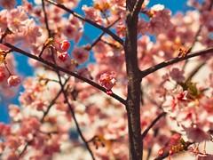 梅の木 • Plum Tree (Jon-Fū, the写真machine) Tags: jonfu 2017 olympus omd em5markii em5ii em5mkii em5mk2 em5mark2 オリンパス mirrorless mirrorlesscamera microfourthirds micro43 m43 mft μft マイクロフォーサーズ ミラーレスカメラ ミラーレス一眼カメラ ミラーレス機 ミラーレス一眼 snapseed japan 日本 nihon nippon ジャパン ジパング japón जापान japão xapón asia アジア asian orient oriental aichi 愛知 愛知県 chubu chuubu 中部 中部地方 nagoya 名古屋 outdoors 野外 nature 自然 plant plants 植物 flora flower flowers 花 華 梅 梅の木 plum plumtree plumtrees