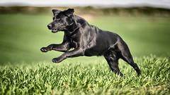 Get a move on (uwe.kast) Tags: labrador labradorretriever labradorredriver hund haustier dog nikon nikond3 d3