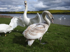 Swans at Thrybergh Country Park (Sharon B Mott) Tags: swans birds britishwildlife wildlife waterfowl nature thryberghcountrypark april landscape sky moodysky lake
