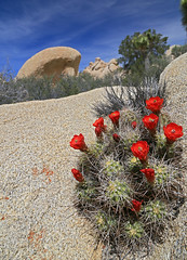 Beautiful thorns (Robyn Hooz (away)) Tags: thorns spine cactus cacti deserto desert joshua california tree albero pietre rocce usa parco park national