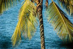 a coconut tree...and beyond... (@petra (away)) Tags: petra nature natural palmtree coconut light shadows sea seaside brazil south nikon