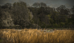 The colour of silence (Coisroux) Tags: trees serene forests autumns auburn grasses d5500 nikond nenevalley secluded desolate artistic solumn clouds constable peterborough hues distance hidden pastel