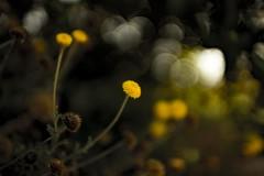 Flor silvestre (Alvaro.sh) Tags: chile canon canont5 canon1200d t5 1200d sigma sigma30 sigma30mm 30mmsigma 30mm 30mmf14dc|a 30 flower flor flora naturaleza nature natural jardin garden yellow