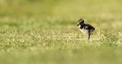 Kievit - Vanellus vanellus - Northern Lapwing (merijnloeve) Tags: kievit vanellus northern lapwing pullus pul little baby bird cute birds berkel en rodenrijs nederland netherlands weidevogel weidevogels polder weiland landsingerland zuidholland rotterdam