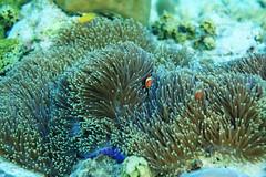 Found Nemo (Landersz) Tags: philippines filippine coron palawan club paradise snorkeling turtle shark clownfish nemo dugong landersz canon 5dmk3 nimar gopro hero5